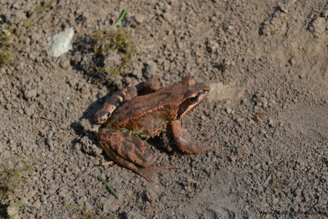 Rohukonn / The Common Frog